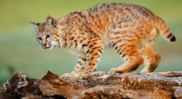 Wildlife Control Are Bobcats Dangerous