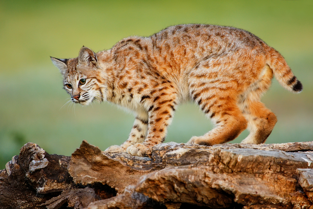 Wildlife Control Are Bobcats Dangerous Trapping Usa