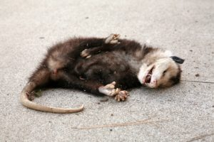 dead animal removal services in dallas & houston