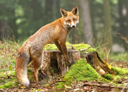 fox removal services in dallas & houston, tx