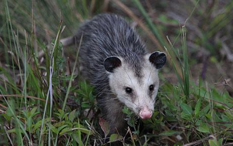 Expert Opossum Removal Services Dallas Plano Frisco