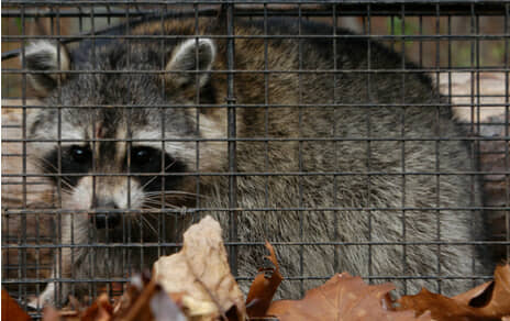 Dallas Amp Houston Best Raccoon Removal Service Trapping Usa