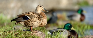 Make Way for Ducklings? How to Deal With a Duck Infestation