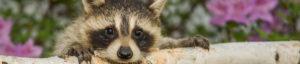 raccoon removal in McKinney Texas