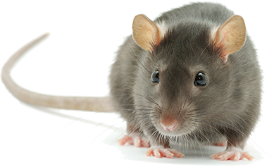 Dallas Amp Houston Tx Affordable Mouse Amp Rat Removal