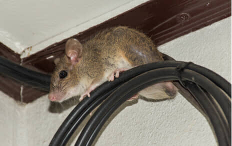 Dallas Amp Houston Rat Amp Mice Removal Trapping Usa