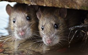 rat removal service in Flower mound tx